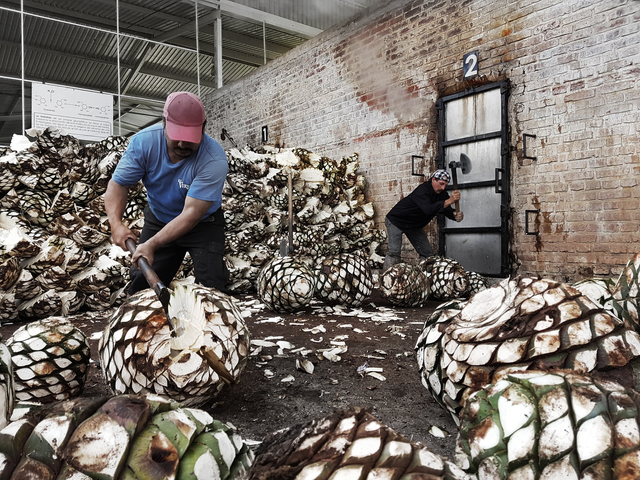 cuttingagave